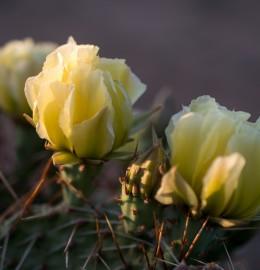 Поляна цветущих кактусов в урочище Кордон